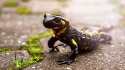 Beautiful fire salamander