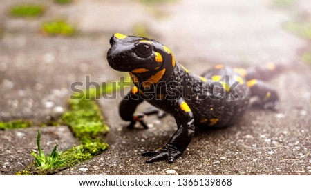 Beautiful fire salamander