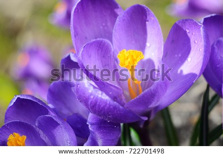 Beautiful first spring flowers crocuses bloom under bright sunlight. - Shutterstock ID 722701498