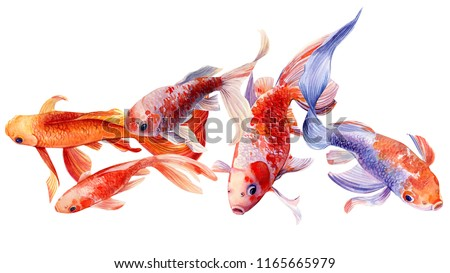beautiful fishs koi on white background, watercolor illustration, hand drawing
