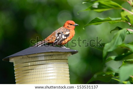 Beautiful Flame-colored Tanager (Piranga bidentata)  male perched on a garden lamp top