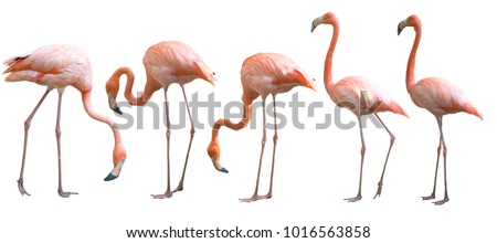 Beautiful flamingo bird isolated on white background