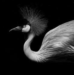 Beautiful flamingo closed up shot illuminated by sunlight with dark - black background. Black & white image.