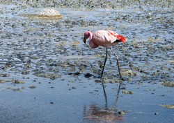 beautiful flamingo walks along a mineral lake, Uyuni, Bolivia.Flamingos born with white and grey feathers, which turn pink because of a natural pink dye called canthaxanthin which comes from the food