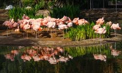 Beautiful flamingos in San Diego Zoo and Safari park, California