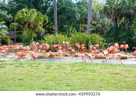 Beautiful flamingos on warm sunny summer day. Many birds. #439903276