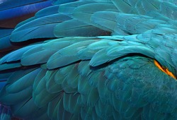 Beautiful Flight Feathers of a Blue and Gold Macaw. Parrot