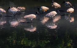 Beautiful flock of birds Black-headed Ibis walking for food in the shallow water of the marsh. Black-headed Ibis bird or Threskiornis melanocephalus in science name. Space for copy.