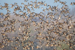 Beautiful flock of  Wigeon birds on mass take off on  a cold winters morning in England
