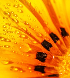 Beautiful floral background, abstract natural wallpaper, bright yellow Gerber flower with dew drops on the petals, beauty of spring season