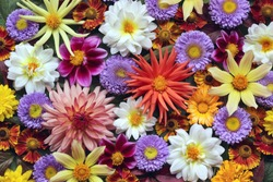 Beautiful floral background of autumn garden flowers, top view. Dahlias and asters. Backdrop for greetings or postcards.