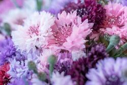 Beautiful floral background of pink fresh cornflower.