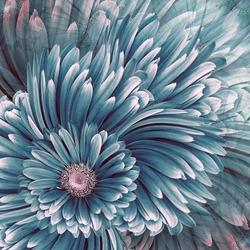 Beautiful floral background. Turquoise  gerbera flowers. Nature.