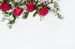 Beautiful floral flat-lay arrangement of Australian native red waratah flowers and eucalyptus leaves, creating a border  on a rustic white background. Space for copy.