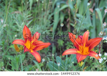Beautiful floral landscape. Natural macro background.  Beautiful lilies in the garden. Hd wallpaper  flowers nature wallpapers for desktop backgrounds.  #1449952376
