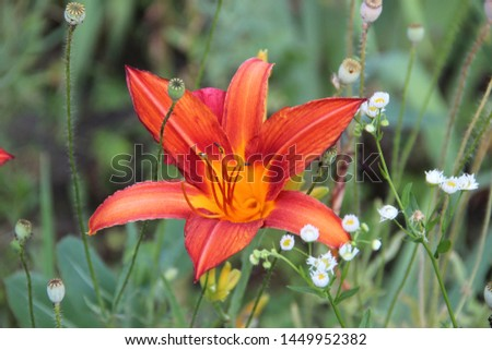 Beautiful floral landscape. Natural macro background.  Beautiful lilies in the garden. Hd wallpaper  flowers nature wallpapers for desktop backgrounds.  #1449952382
