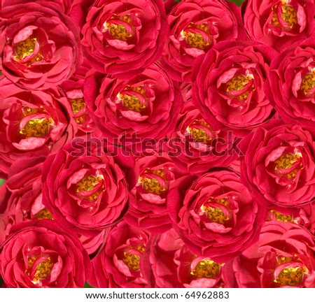 red rose flower wallpaper. red rose flower background