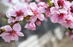 Beautiful floral spring abstract background of nature. Branches of blossoming cherries peach macro on blurred background.