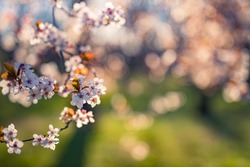 Beautiful floral spring abstract nature landscape. Branches of blossoming apricot macro with blurred sunlight and garden view. Springtime, May flowers, cheery, sakura. Amazing nature flowers, romantic