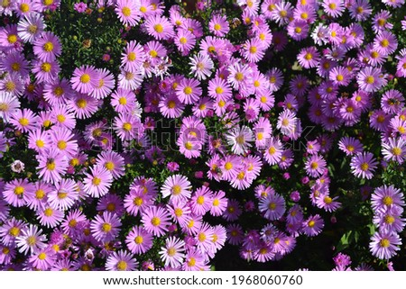 Beautiful flower abstract background of nature. Astra perennial. Astra Alpine. Aster alpinus. Floriculture, home bed. Delicate purple flowers Stockfoto ©
