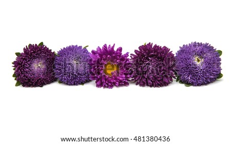 Beautiful flower aster on a white background #481380436