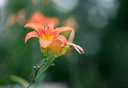 Beautiful flower background. Amazing view of bright orange lily flowering in the garden at the middle of sunny summer of spring day with green grass landscape.