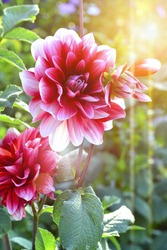 Beautiful flower background. Amazing view of bright pink Dahlia flowering in the garden at the middle of sunny summer of spring day with green grass landscape.