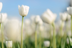Beautiful flower background. Amazing view of bright white tulips blooming in the garden at the middle of sunny spring day with green grass and blue sky landscape.