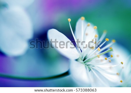 Beautiful flower blossoming cherry in macro closeup. Wallpaper, background, desktop, cover.