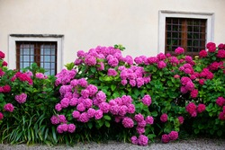 beautiful flower bushes with green petals in front of the window with metal bars. colorful hydrangea flowers in front of the house with brown windows. flower bushes in the gravel yard