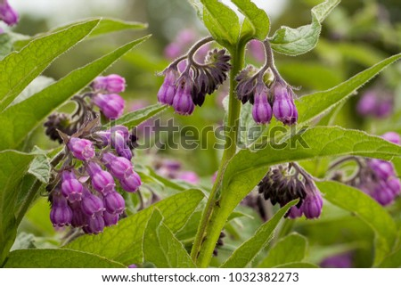 beautiful flower comfrey blooming in a field or a meadow