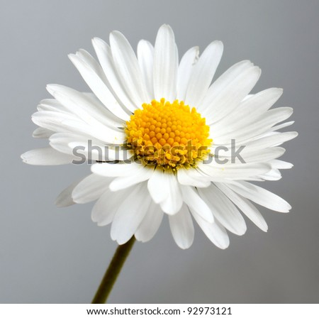 beautiful flower daisy on white background