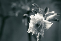 Beautiful flower desert rose, adenium, blooming in black and white.