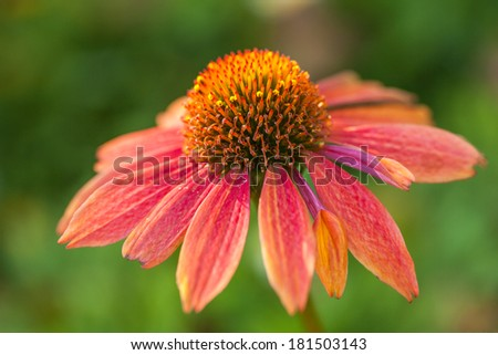 Beautiful flower Echinacea