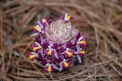 Beautiful  flower  Endemic plant (Curcuma ecomata Craib) in Nature