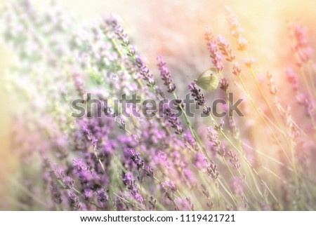 Beautiful flower garden with lavender flower, selective focus on butterfly on lavender #1119421721