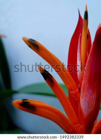 Beautiful flower (Heliconia psittacorum Fuchsia).   #1492382339