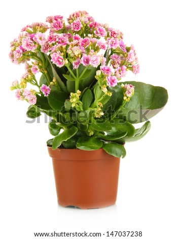 Beautiful flower in pot isolated on white #147037238