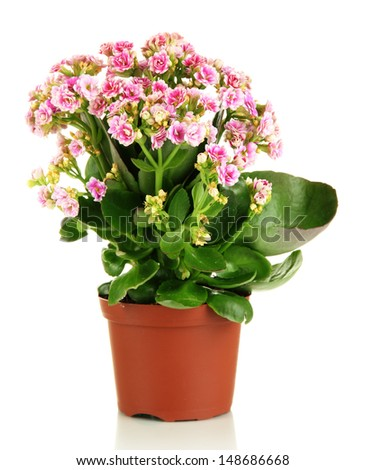 Beautiful flower in pot isolated on white #148686668