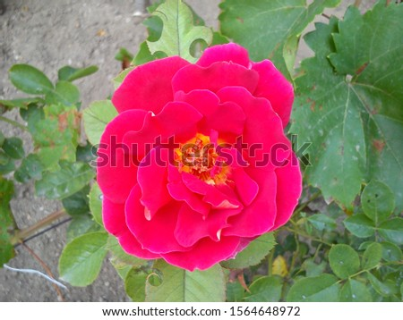 Beautiful flower of a bright pink rose. Terry rose with a yellow core and ocher stamens and pestle inside. Delicate rose petals in intense fuchsia color