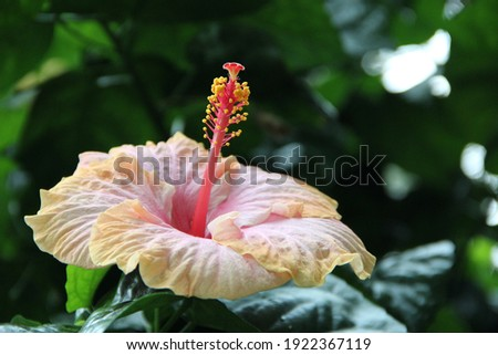 Beautiful flower of Hibiscus in tropical garden close up. Tender Hibiscus blooming in jungle. hibiscus flower on green background. Hibiscus hawaiian plant growth in rainforest jungle