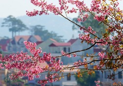 Beautiful flower of nature, bunch of pink cherry blossom blooming vibrant, this flower is typical for Dalat city in spring