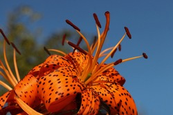 Beautiful flower of orange lily in the garden on a summer day.orange lily close up.floral background.lily on the sky sky