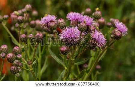 Beautiful flower of purple thistle. Pink flowers of burdock burdock. Burdock thorny flower close-up. Flowering thistle or milk thistle. Herbaceous plants