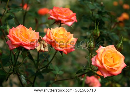 Beautiful flower orange rose blossom in nature garden with branch and green leaves, blurry backgroun.