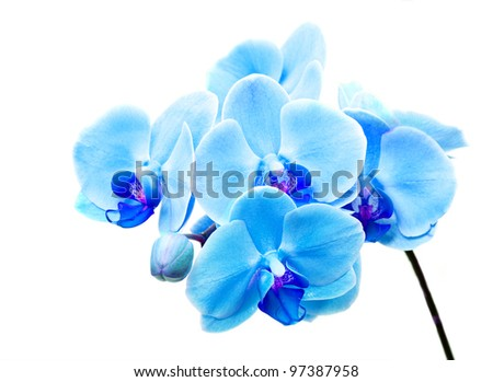 Beautiful flower Orchid, blue phalaenopsis close-up