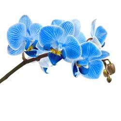 Beautiful flower Orchid, blue phalaenopsis close-up  isolated on white background