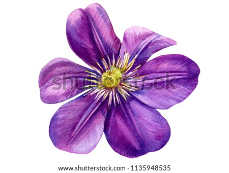 beautiful flower purple clemati on isolated white background, watercolor illustration, botanical painting, hand drawing