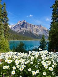 Beautiful flower surrounding Emerald Lake Banff National Park Canada