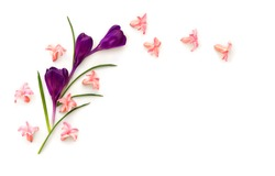 Beautiful flower violet crocuses and pink hyacinths ( Hyacinthus ) on a white background with space for text. Top view, flat lay